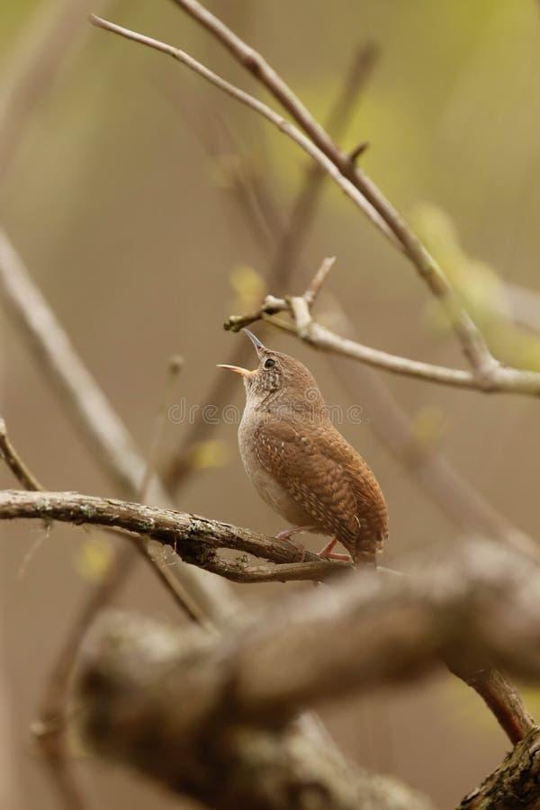 Carriça empoleirada em um ramo que canta na primavera imagem de stock