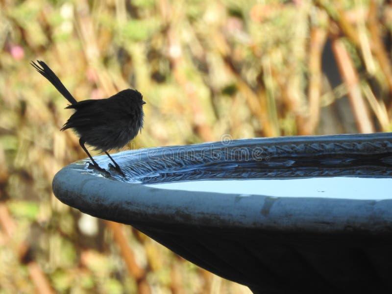 Carriça feericamente azul fêmea que descansa no banho do pássaro foto de stock
