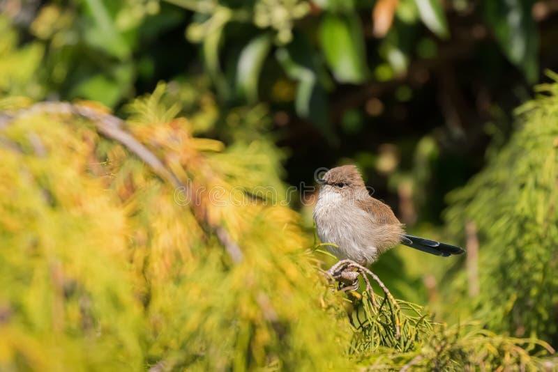 Carriça feericamente magnífica pequena bonito, pássaro masculino da carriça azul juvenil com fotografia de stock royalty free