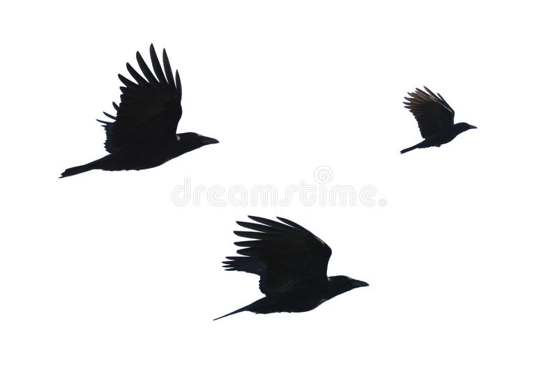 Carrian crows in flight stock photo