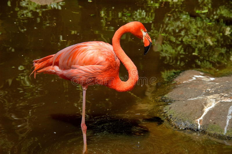 Download Carribean Flamingo, South Africa Stock Image - Image: 26575789