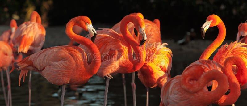 Download Carribean Flamingos Over Beautiful Sunset Stock Photo - Image of dramatic, dusk: 36839046