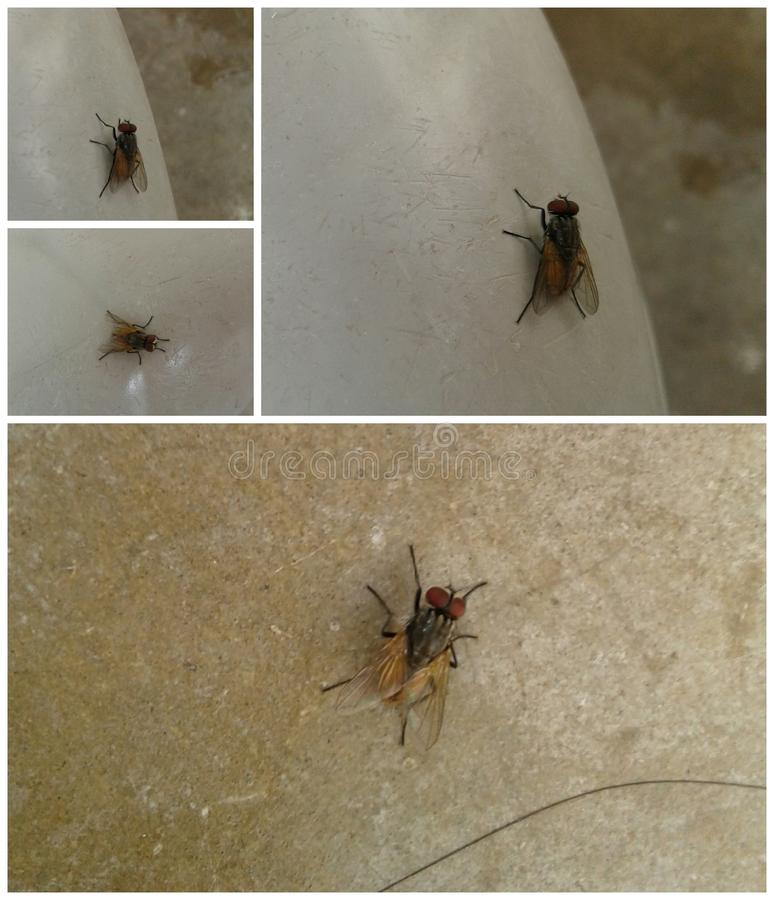 The carrier of disease-Musca domestica royalty free stock images