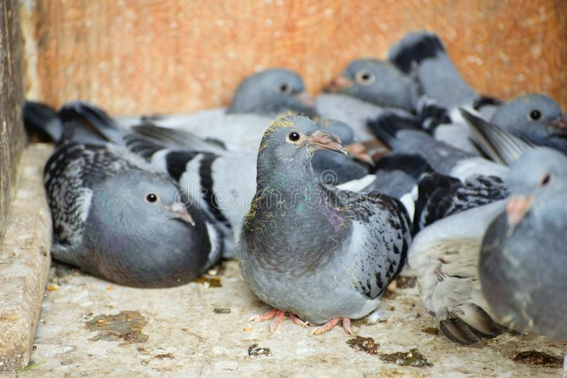 A carrier pigeon or messenger pigeon. Is a homing pigeon that was used to carry messages royalty free stock photo