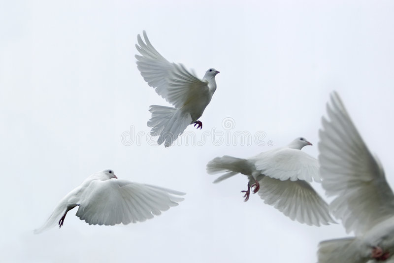 Carrier pigeons royalty free stock photo