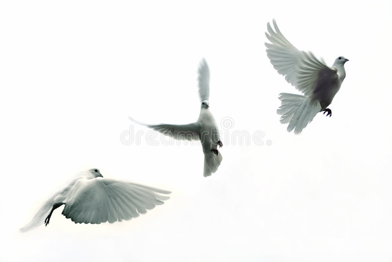 Carrier pigeons stock photo