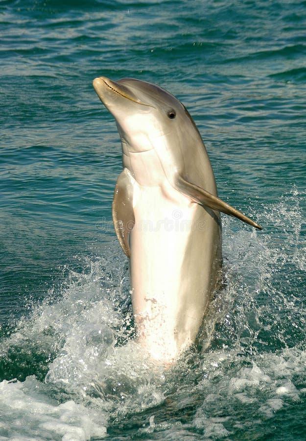 Carrinho da cauda do golfinho   imagem de stock