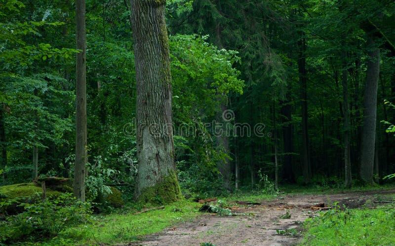 Carrinho da floresta de Bialowieza e da estrada da terra imagem de stock royalty free