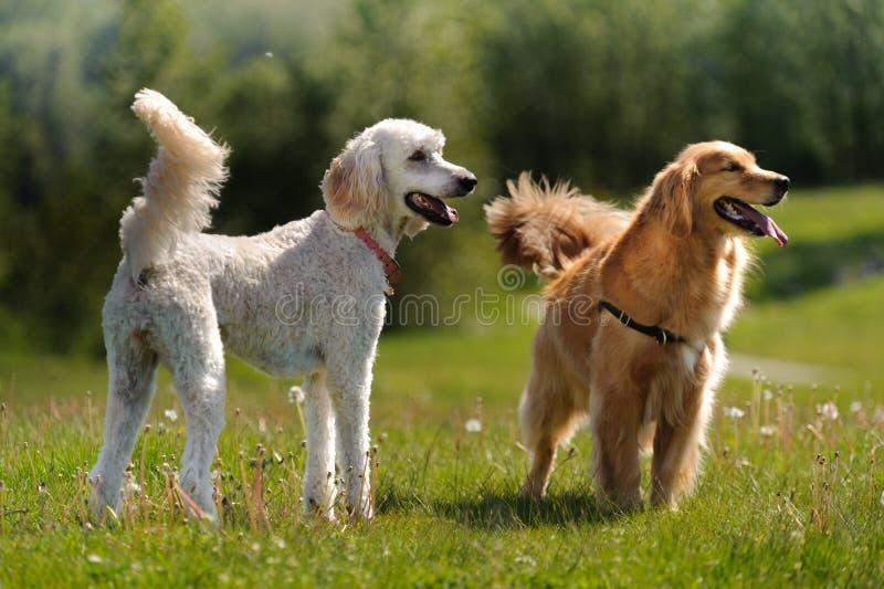 Carrinho de dois cães em um campo fotos de stock