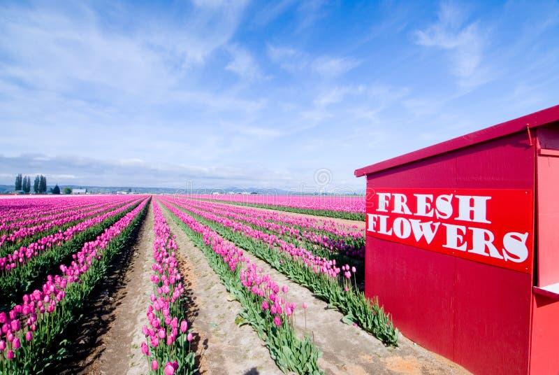 Carrinho de flor do Tulip imagens de stock royalty free