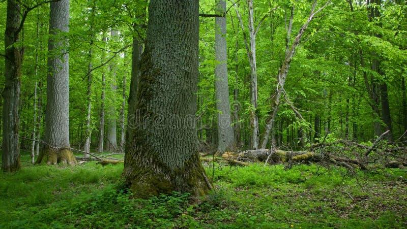 Carrinho Deciduous da floresta de Bialowieza na primavera fotografia de stock royalty free