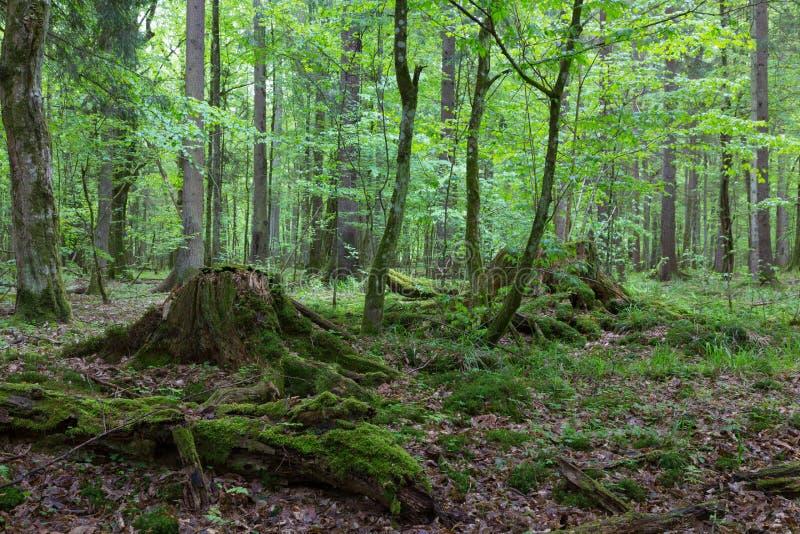 Carrinho Deciduous da floresta de Bialowieza no outono foto de stock