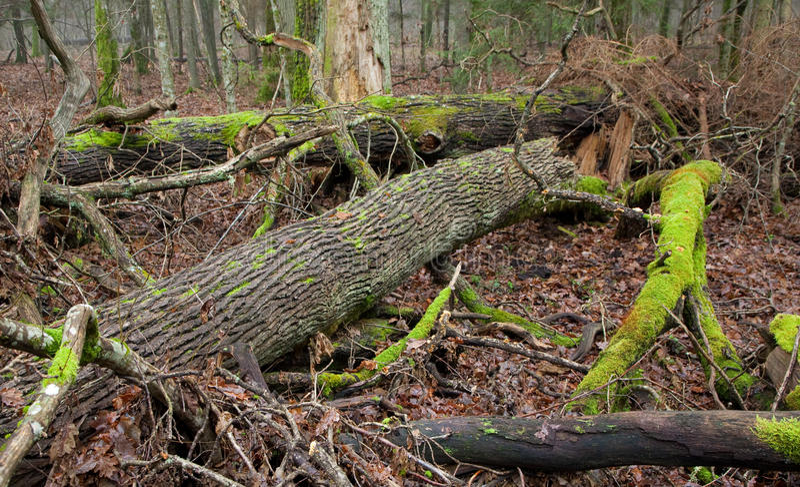Carrinho Deciduous da floresta de Bialowieza no outono fotografia de stock