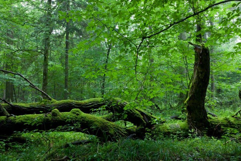 Carrinho Deciduous da floresta de Bialowieza no verão imagens de stock
