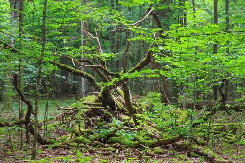 Carrinho Deciduous da floresta de Bialowieza no verão fotos de stock royalty free