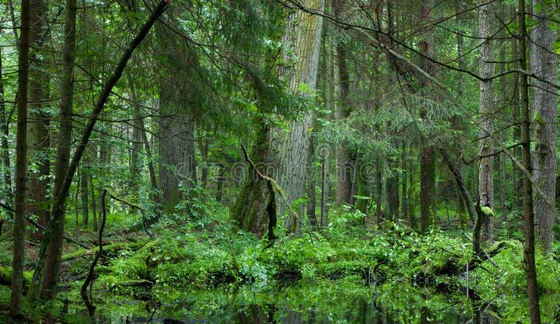 Carrinho Deciduous da floresta de Bialowieza no verão imagem de stock