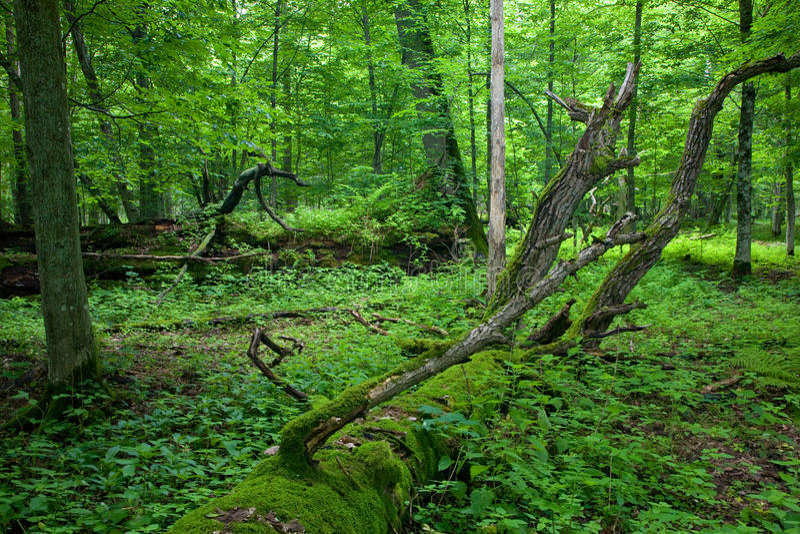 Carrinho deciduous fresco da floresta de Bialowieza imagens de stock