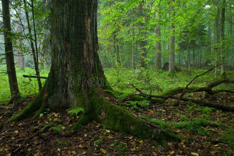 Carrinho deciduous outonal da floresta de Bialowieza foto de stock
