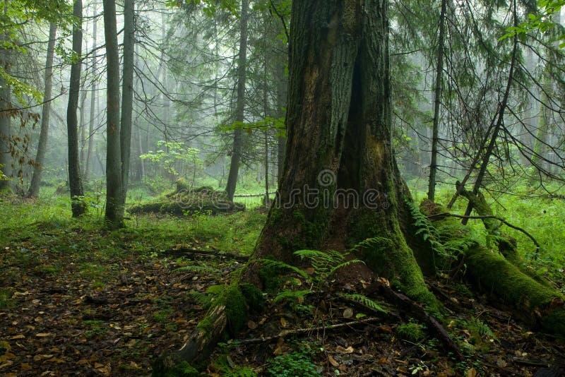 Carrinho deciduous outonal da floresta de Bialowieza foto de stock royalty free