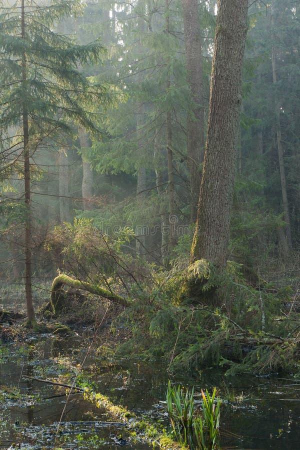 Carrinho do riparian da floresta de Bialowieza na manhã fotos de stock