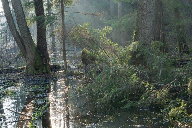 Carrinho do riparian da floresta de Bialowieza na manhã fotos de stock royalty free