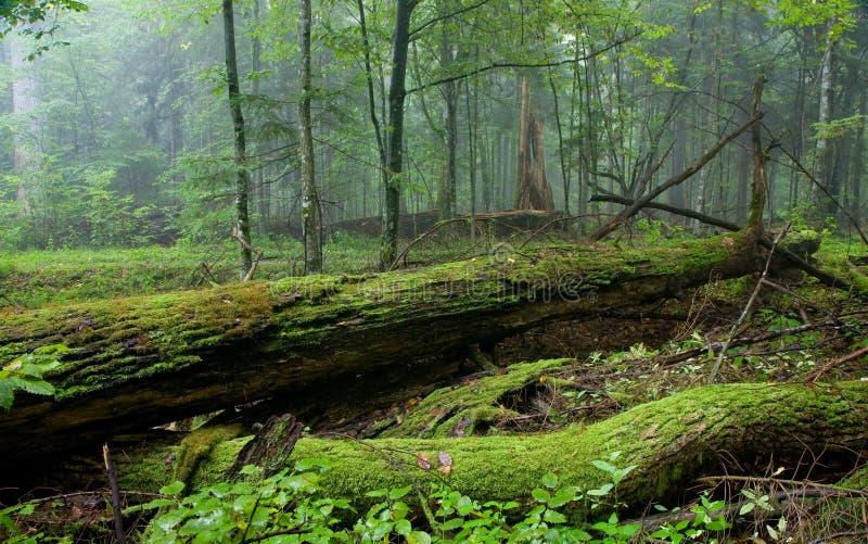 Carrinho fresco da floresta de Bialowieza no verão imagens de stock