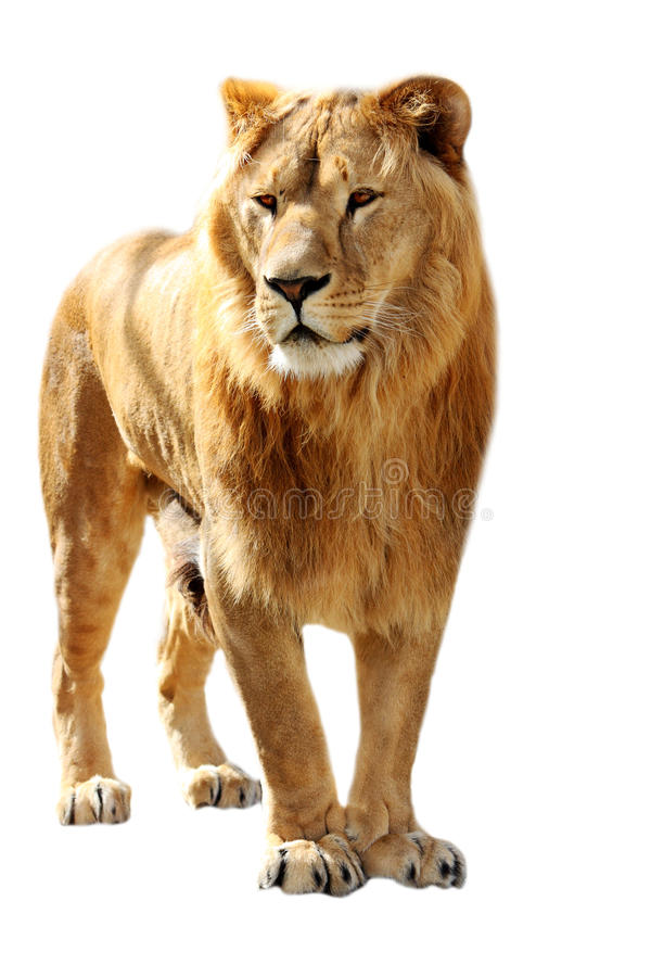 Carrinhos do leão fotos de stock