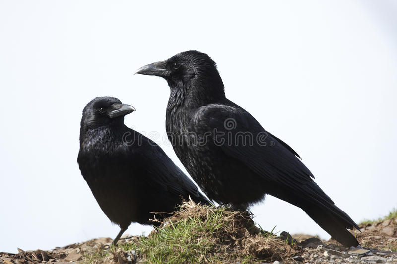 Download Carrion Crow stock image. Image of carrion, pair, corvus - 20123897