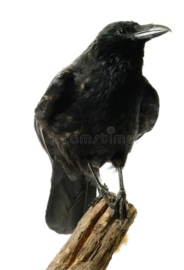 Carrion Crow royaltyfri fotografi