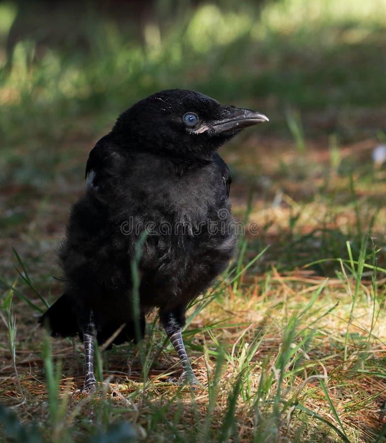 Carrion Crow Chick Profile arkivfoton