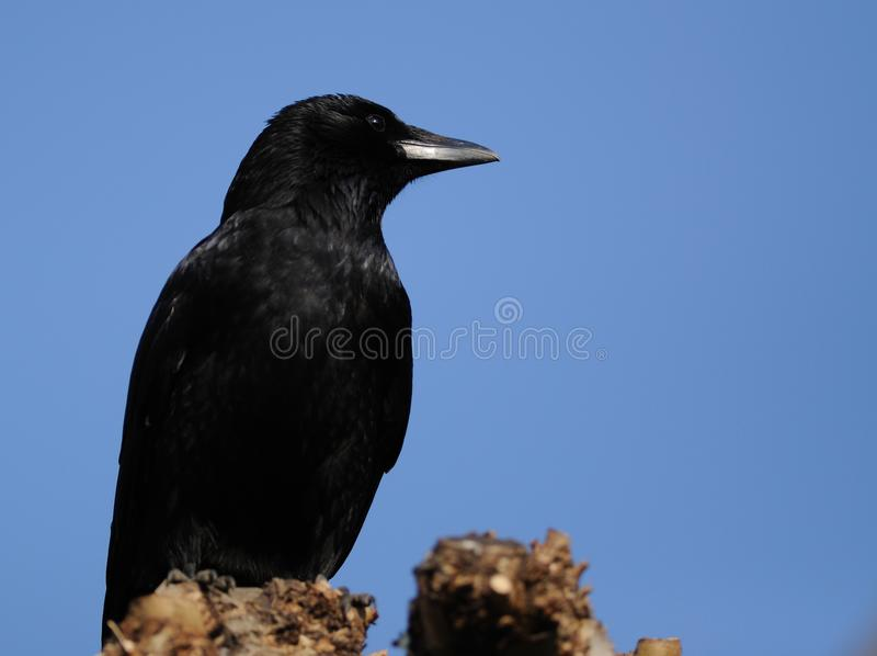 Carrion Crow (Corvus Corone) stock photos