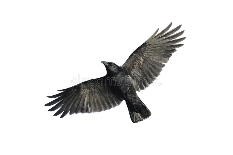 Carrion crow in flight. Carrion crow with wide-spread wings isolated against white background