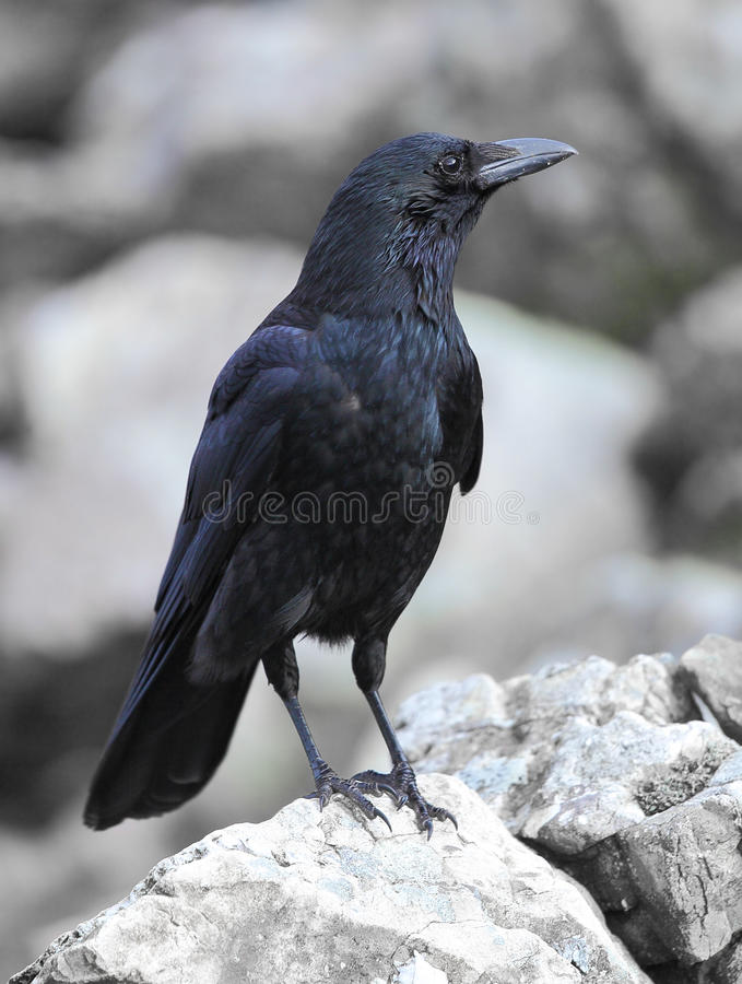 Carrion crow royalty free stock photography