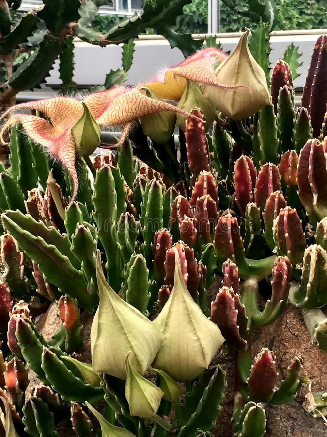 Carrion Flower Stapelia Blossom or Zulu giant (Stapelia gigantea. Stapelia gigantea, apocynaceae, carrion flower, tanzania, south africa royalty free stock photography