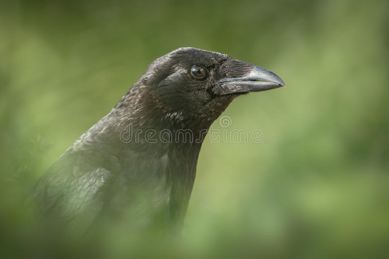 Carrion wrona fotografia royalty free