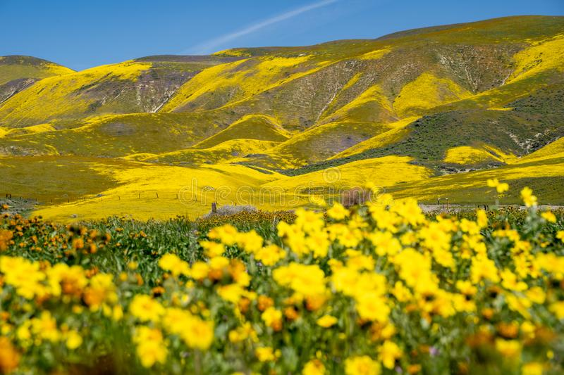Carrizo Plain National Monument during the California 2019 superbloom. Intentionally defocused hillside daisy wildflowers in. Foreground royalty free stock photos