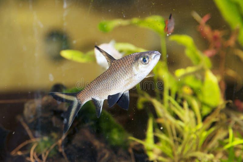 Carro armato di pesce fotografie stock libere da diritti