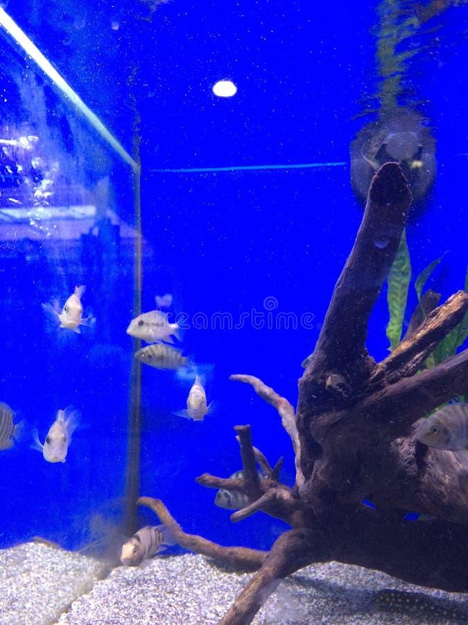 Carro armato di pesce fotografia stock