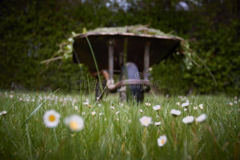 Carro de jardim com grama verde recentemente cortada grande t no gramado Trabalhos do jardim fotos de stock