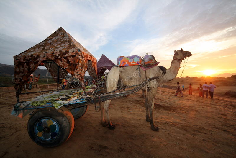 Carro del camello en Pushkar, Rajastan la India fotografía de archivo libre de regalías