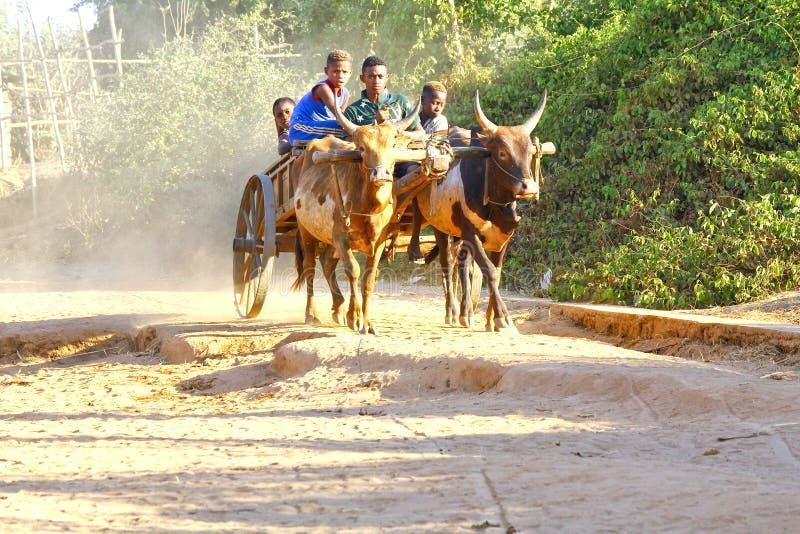 Carro del cebú en el camino arenoso que pasa con el Avenida el baobab imágenes de archivo libres de regalías