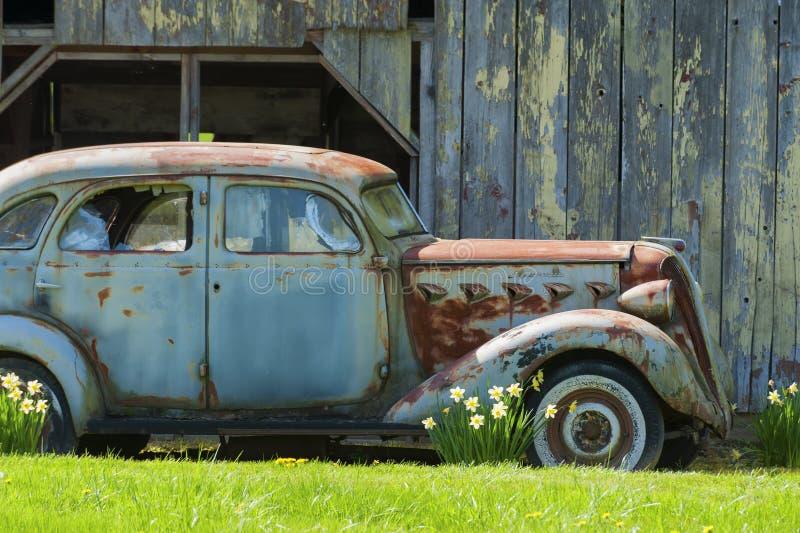 Carro e narcisos amarelos velhos oxidados foto de stock