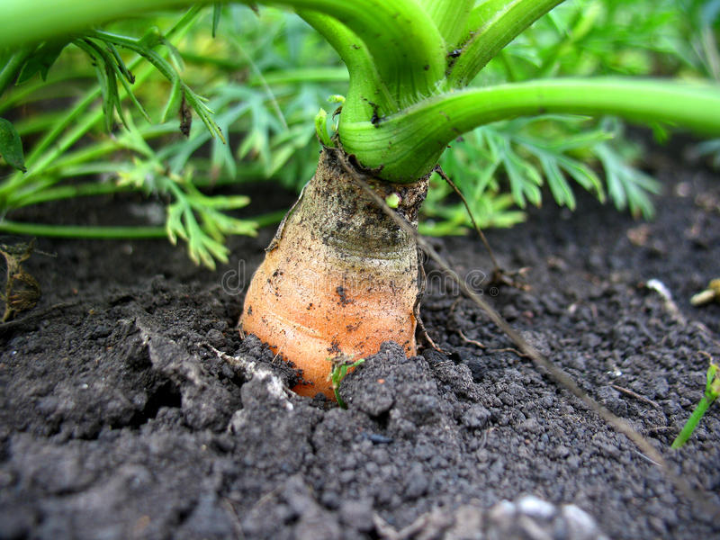 Download Carrot stock image. Image of burgeon, gardening, concepts - 28227675