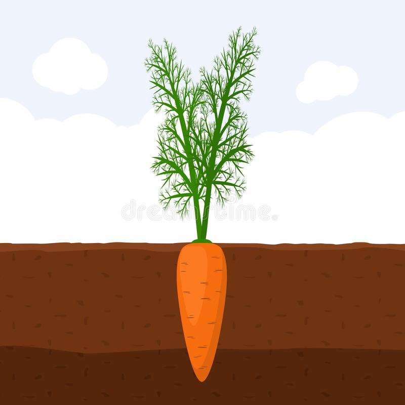 Carrot with green sprout on top in soil, Fresh organic vegetable garden plant growing underground, Cartoon flat vector. vector illustration