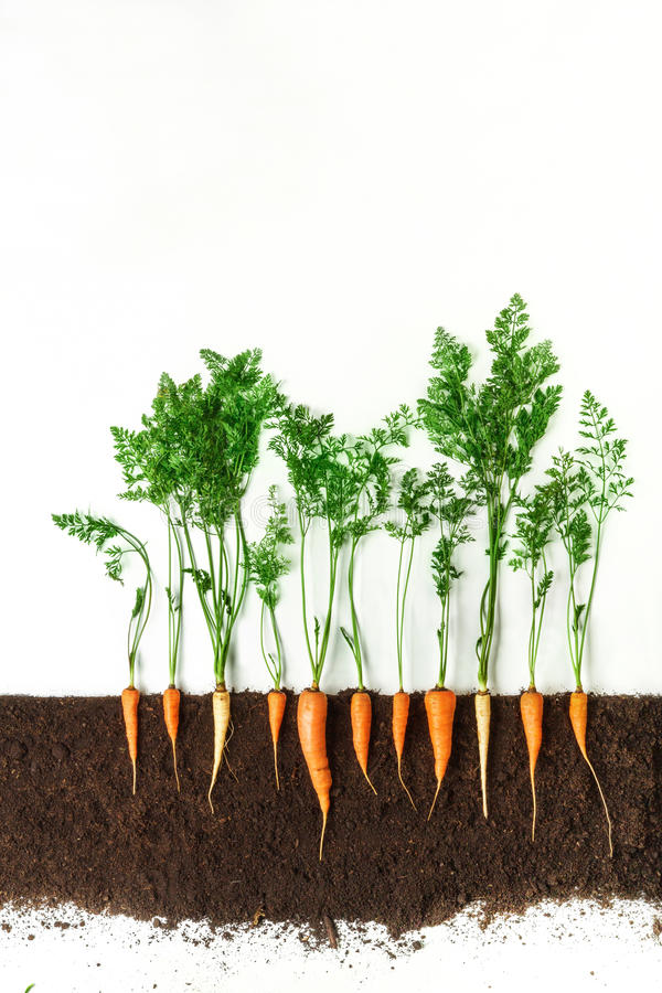 Carrot. Growing plant isolated on white background stock photo
