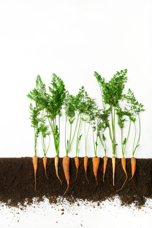 Carrot. Growing plant isolated on white background. Carrot grow in ground, cross section, cutout collage. Healthy vegetable plant with leaves isolated on white royalty free stock photos