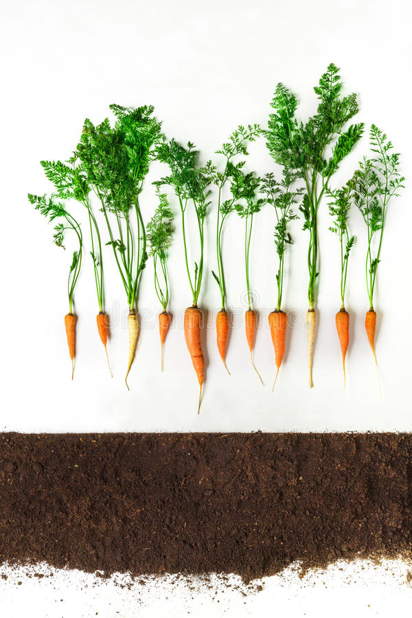 Carrot. Plant and ground isolated on white background. Carrot above ground, cross section, cutout collage. Healthy vegetable plant with leaves isolated on white royalty free stock images