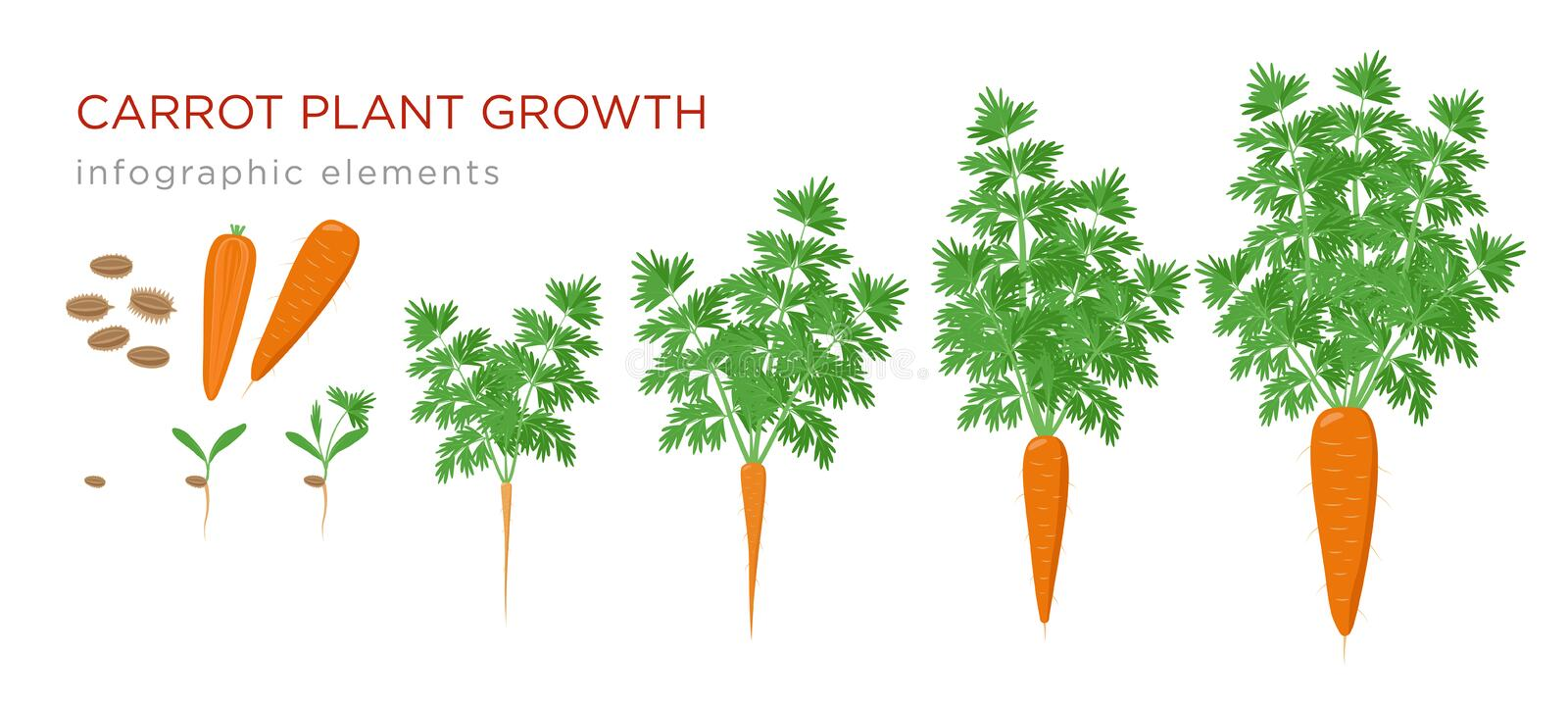Carrot plant growth stages infographic elements. Growing process of carrot from seeds, sprout to mature taproot, life vector illustration