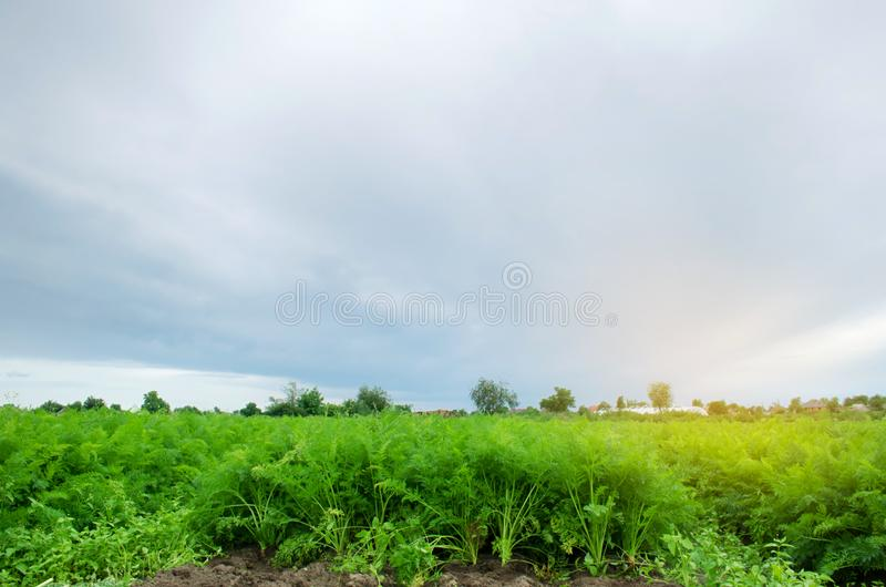Carrot plantations are grown in the field. Vegetable rows. Organic vegetables. Landscape agriculture. Farming Farm. Eco friendly. Products. Selective focus stock image