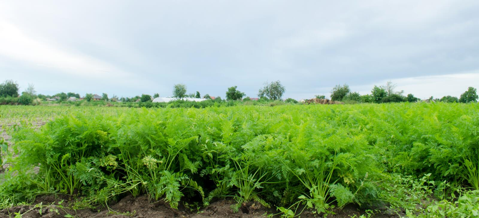 Carrot plantations are grown in the field. Vegetable rows. Organic vegetables. Landscape agriculture. Farming Farm. Eco friendly. Products. Selective focus stock photography